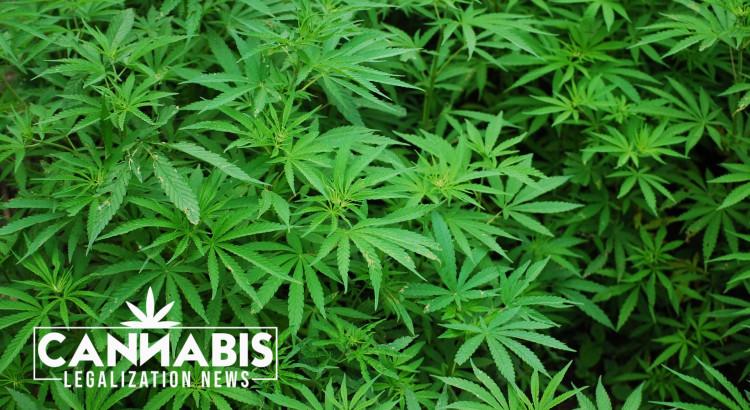 Notícies de legalització del cànnabis