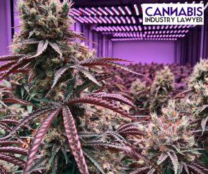 cannabis yield grams per watt