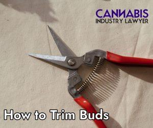 how to trim marijuana