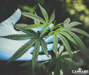 Cannabis Extraction and Distillation