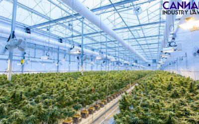 Kan du patentere din nye cannabisstamme