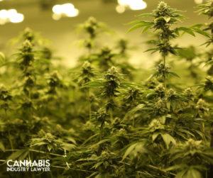 New York Cannabis License