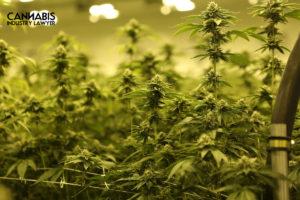 Virginia marijuana wholesaler license.