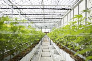 vertikalno integrirani-marihuana-business